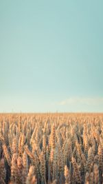 Wallpaper Android Rye Field Sky Nature