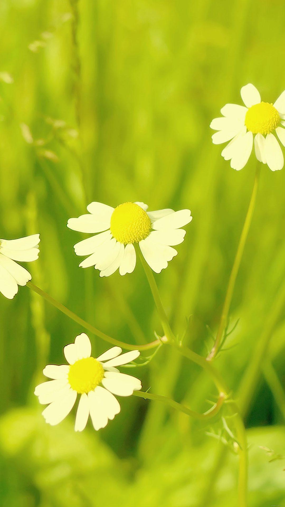 Wallpaper Spring Flower White Grass Nature
