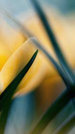 Wallpaper Yellow Crocus Flower Beauty Nature