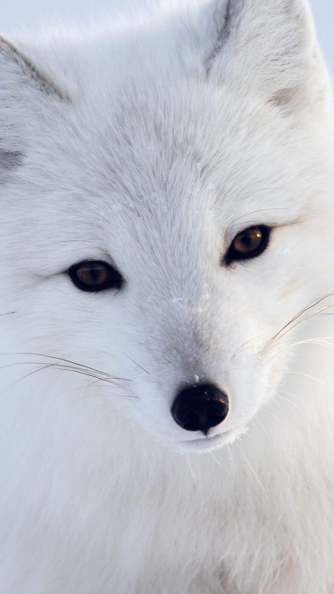Artic Fox White Animal Cute