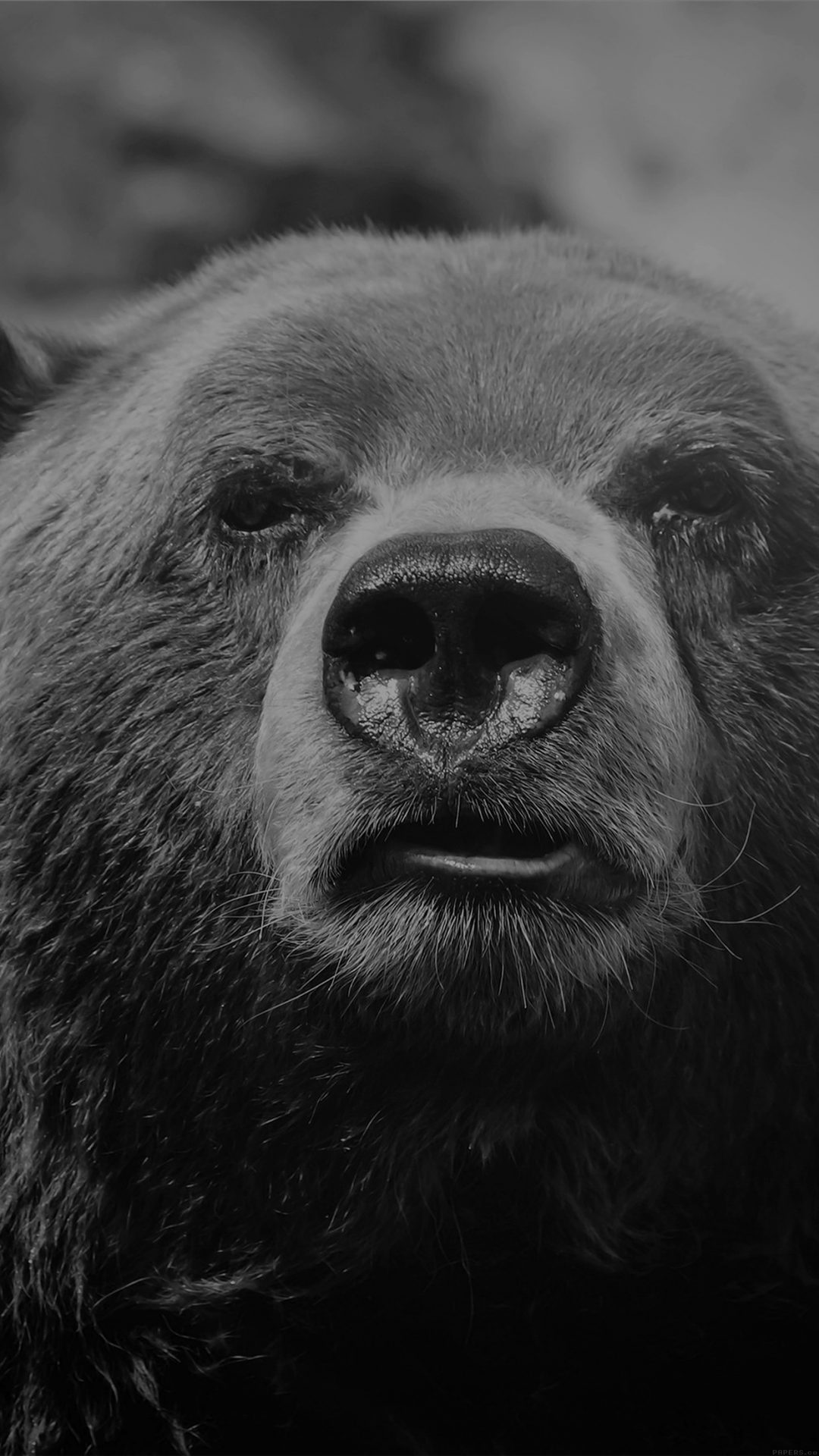Bear Face What The Hell Nature Bw Dark Animal