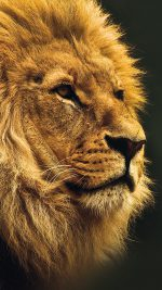 National Geographic Nature Animal Lion Yellow