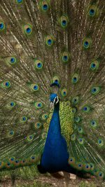 Peacock Animal Beautiful Nature