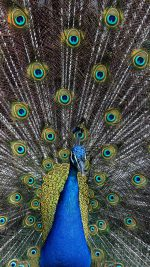 Peacock Animal Bird Art