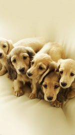 Puppy Retriever Family Animal