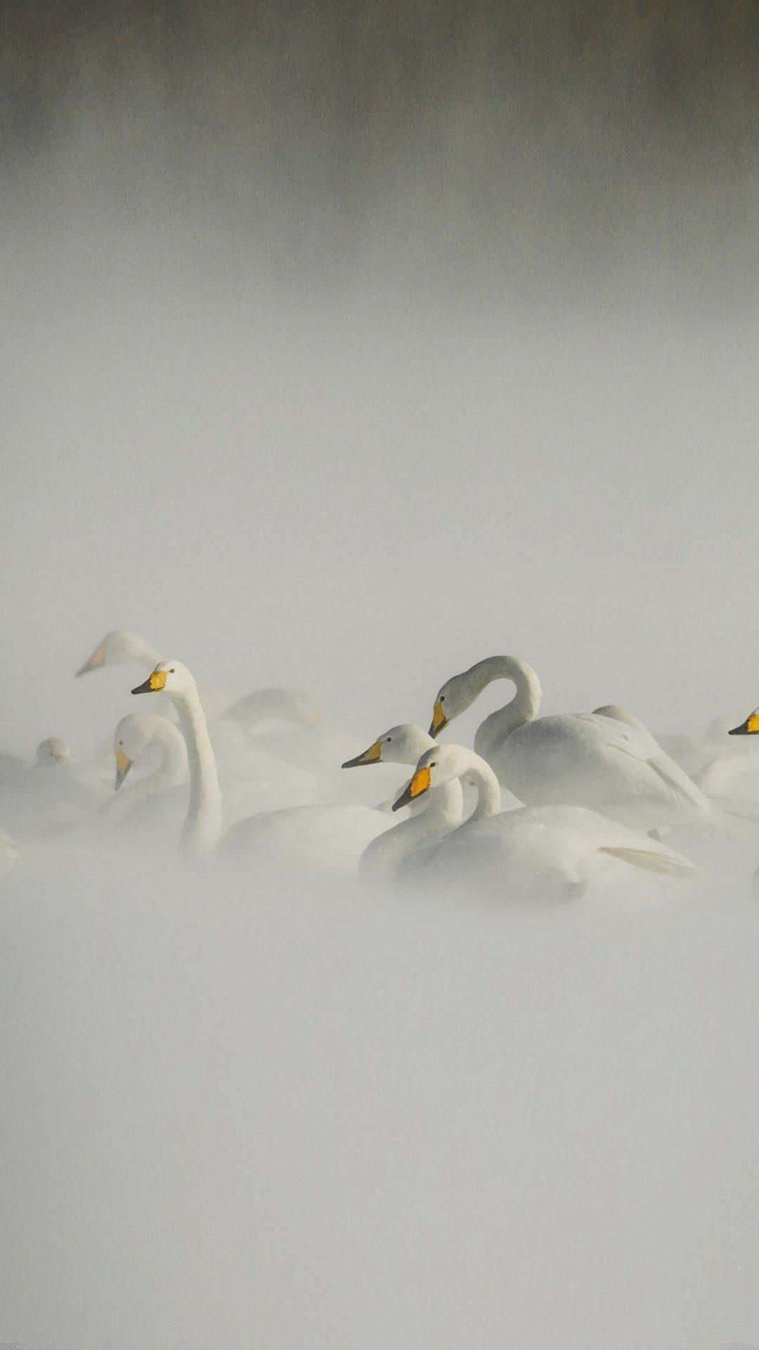 Swan Birds Nature Animal