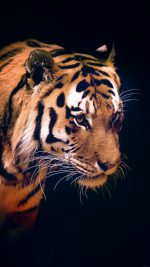 Tiger Dark Animal Love Nature
