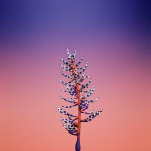 Flower AECHMEA