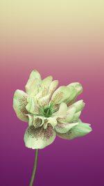 Flower HELLEBORUS